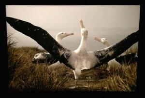 Albatrosser