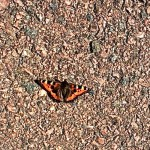 Fjäril på betong